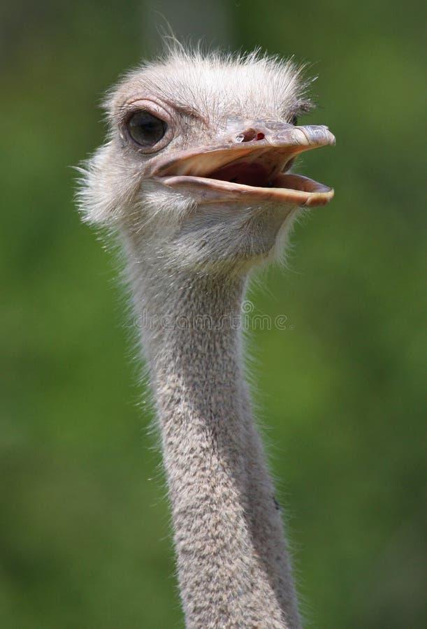 Een close-up van een Struisvogel stock fotografie