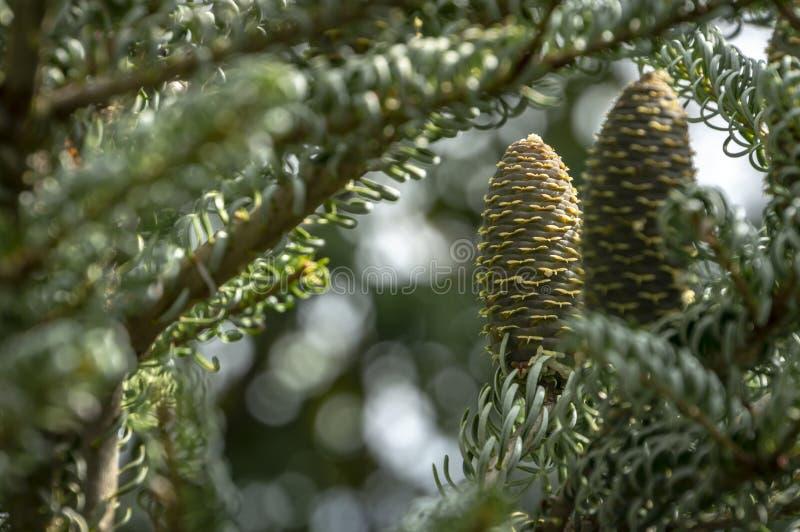 Een close-up van twee kegels op de takken van sparabies koreana Silberlocke stock foto