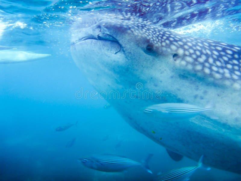 Een close-up van een walvishaai royalty-vrije stock afbeeldingen