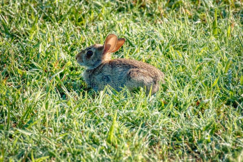 Een close-up van een wild konijn stock afbeelding