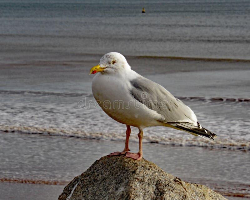 Een close-up van een zeemeeuw perced op een rots op Sidmouth-strandboulevard stock foto