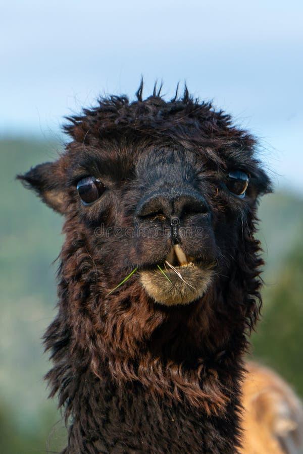 Een close-up van een zwarte alpaca die direct de camera bekijken stock fotografie