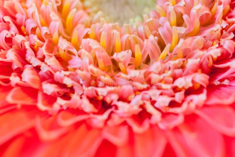 Een close-updeel van midden van bloem roze gerbera Vage Achtergrond met Selectieve Nadruk royalty-vrije stock foto