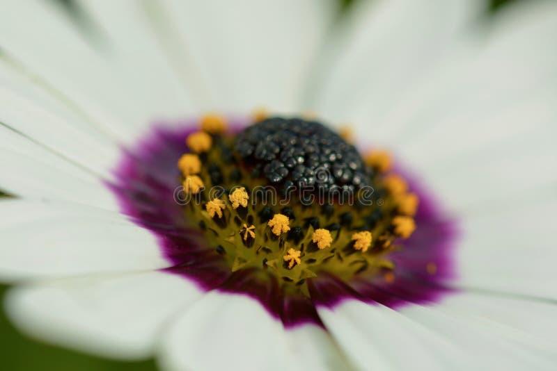Een close-upfoto van een mooie witte osteospermumbloem, met scherpe details van het purpere bloemcentrum stock fotografie
