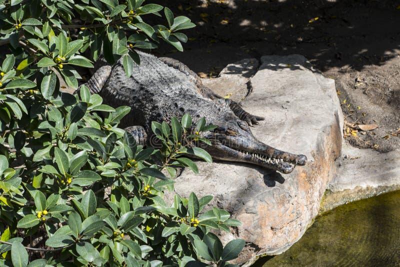 Een close-upfoto van een porosus van Crocodylus van de zoutwaterkrokodil, die ook als de estuarine krokodil, indo-Vreedzame kroko royalty-vrije stock afbeeldingen