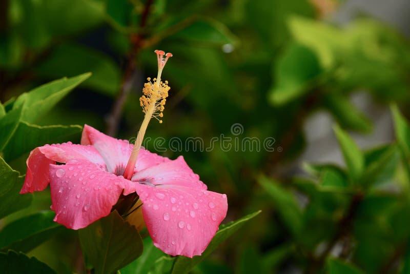 Een close-upfoto van een reusachtige en mooie roze Chinese hibiscus bloeit Hibiscus rosa-sinensis royalty-vrije stock afbeelding