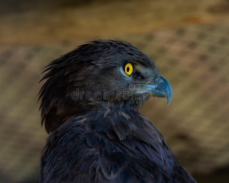 Een close-upportret van een Bruine Slang Eagle royalty-vrije stock fotografie