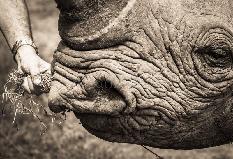 Een close-upschot van een zwarte rinoceros die worden gevoed stock afbeelding