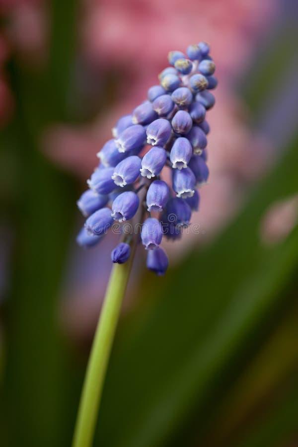 Een cluster van blauwe Druif Hyacinth Blossoms royalty-vrije stock foto