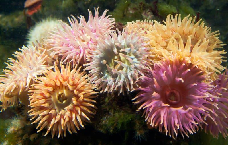 Een cluster van de Anemonen van de Dahlia royalty-vrije stock foto's