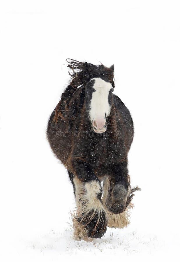 Een Clydesdale-paard die in de dalende sneeuw in de winter in Canada lopen stock fotografie