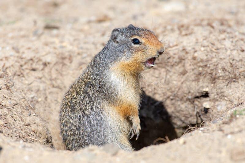 Een Colombiaanse Grondeekhoorn die ons Gevaar schreeuwen! stock fotografie
