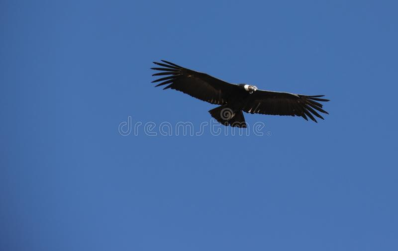 Een Condor die in de Canion vliegen stock foto's