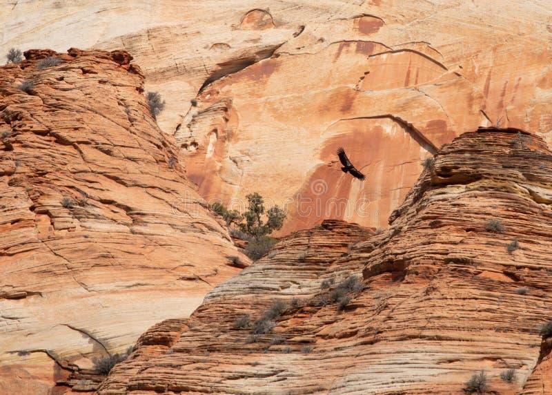 Een condor die van Californië boven de rood zandsteenklippen omcirkelen van Zion National-de de blauwe hemel en wolken van parkut stock afbeeldingen