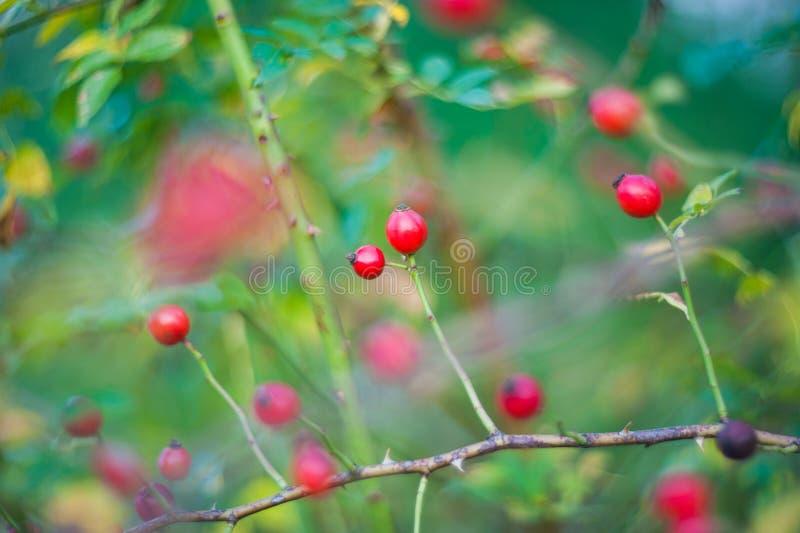 Een Cotoneaster-struik met veel rode bessen op takken, herfstachtergrond Wilde struiken van de close-up de kleurrijke herfst met  stock afbeeldingen