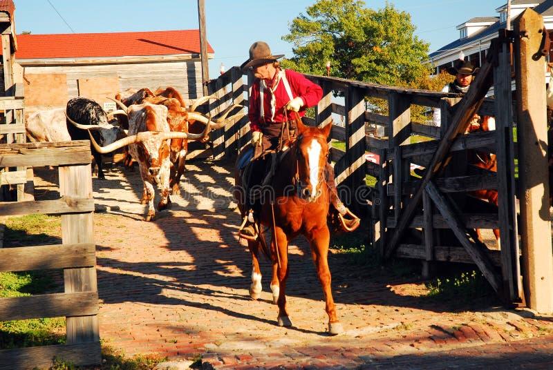 Een cowboy leidt Texas longhorns van hun pennen stock afbeelding