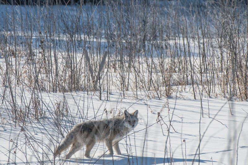 Een Coyote kijkt aan camera van de struik stock foto's