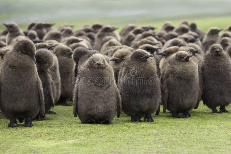 Een crèche van Koning Penguin Chicks, huddled in de regen in Voluntee royalty-vrije stock afbeelding