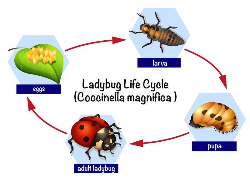 Een cyclus van het lieveheersbeestjeleven stock illustratie