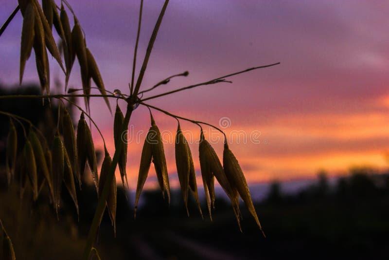 Een daling van dauw op haver bij dageraad stock afbeelding