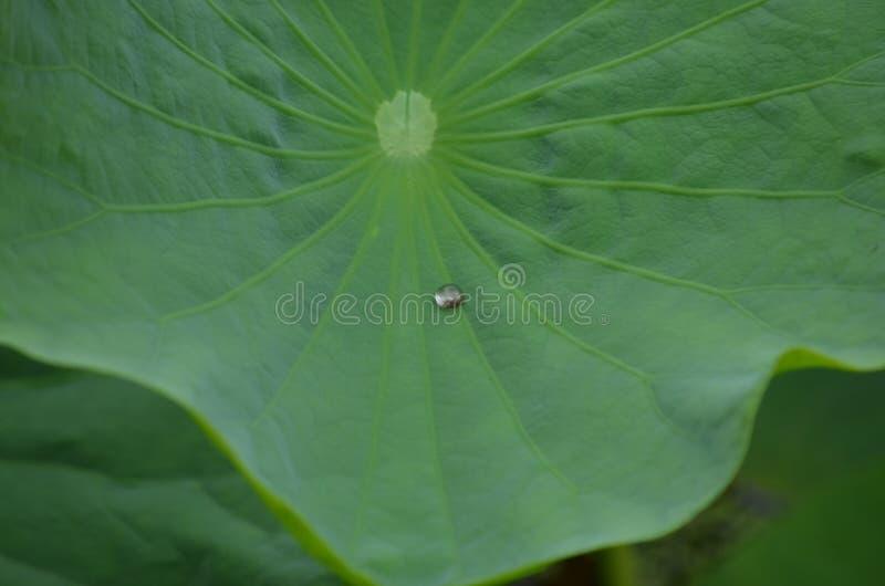 Een daling van water op een lotusbloemblad stock afbeelding