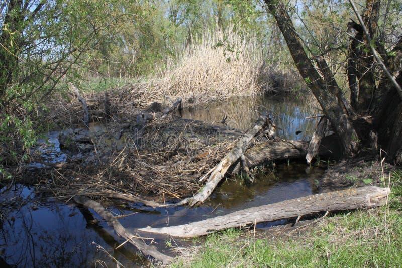 Een dam door bevers wordt gebouwd die stock afbeeldingen