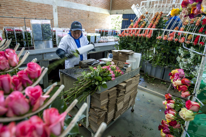 Een dame pakt rozen klaar voor de uitvoer bij de Hacienda-de Rozenaanplanting van La Compania dichtbij Cayambe in Ecuador in royalty-vrije stock fotografie
