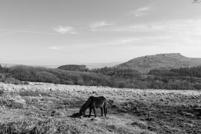 Een Dartmoor Pony Grazing met Sheepstor op de Achtergrond, Dartmoor, Devon stock foto's