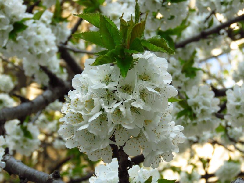 Een de boomtak van de close-up bloeiende bloeiende kers op vage witte bloesemachtergrond de witte bloesem van de kersenboom en gr stock foto's