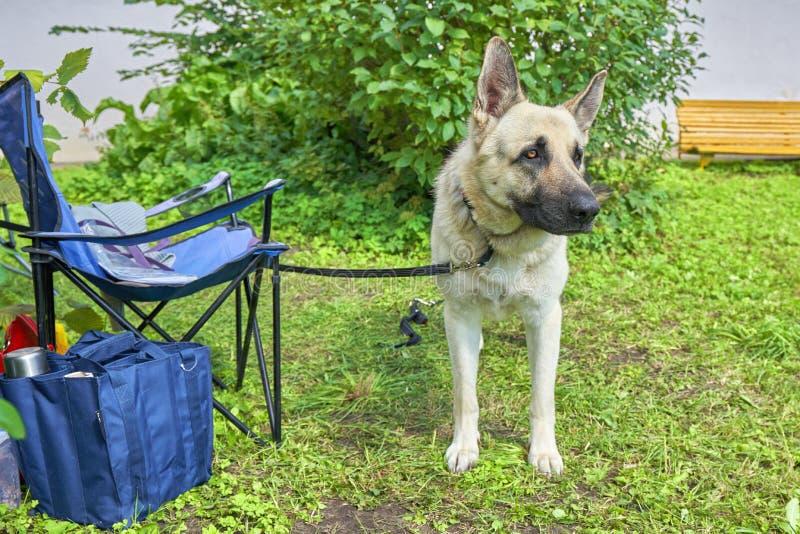 Een de diensthond van het Oosteuropese Herdersras bekijkt de camera royalty-vrije stock foto's