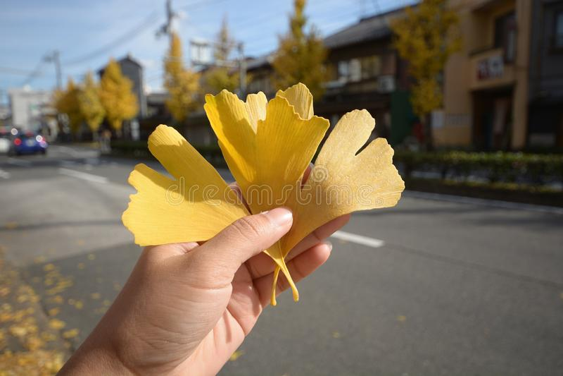 Een de herfst gele ginkgo van de handholding doorbladert royalty-vrije stock afbeeldingen
