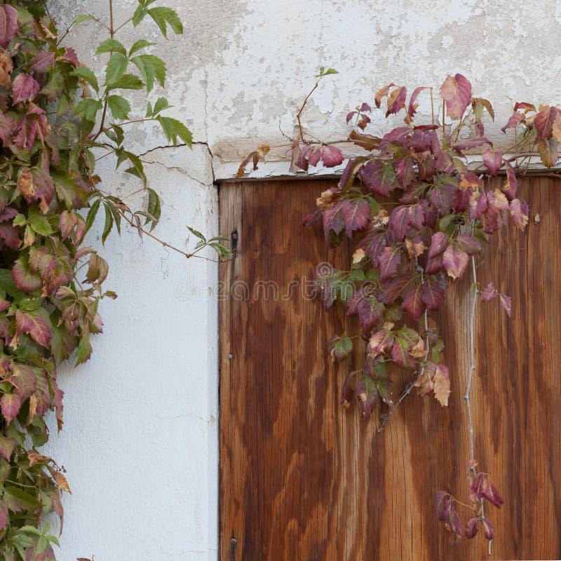 Een de klimplantwijnbouw van Virginia rond oud ingescheept die op venster in een muur met afschilferende gipspleister wordt behan stock foto's