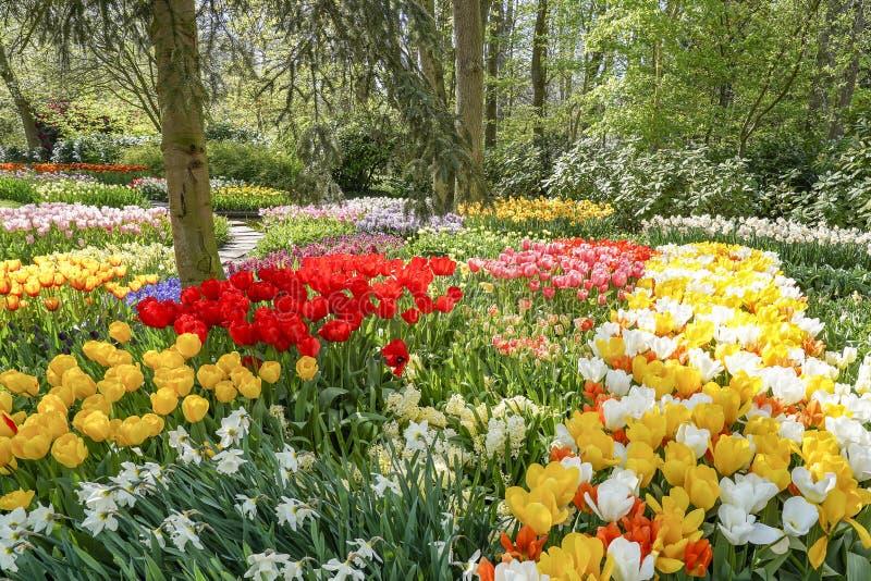 Een de lenteschouwspel met tulpen, gele narcissen, hyacinten en muscari in vele kleuren stock foto