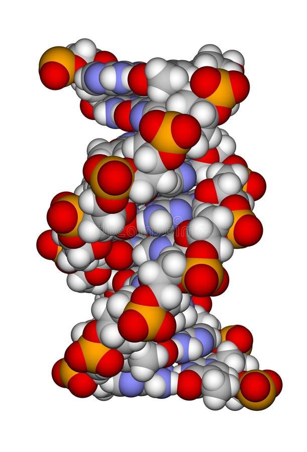 Een deel van een dubbele schroef van DNA vector illustratie