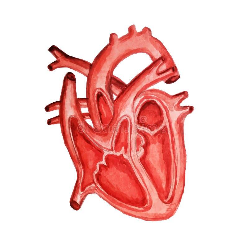 Een deel van het menselijke hart anatomie Diastole en systole watercolor royalty-vrije illustratie