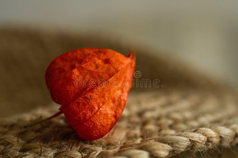 Een deel van Physalis-peruvianainstallatie op een oppervlakte Physalisinstallatie Chinees fruit Oranje vruchten Physalis Oogstphy royalty-vrije stock afbeeldingen
