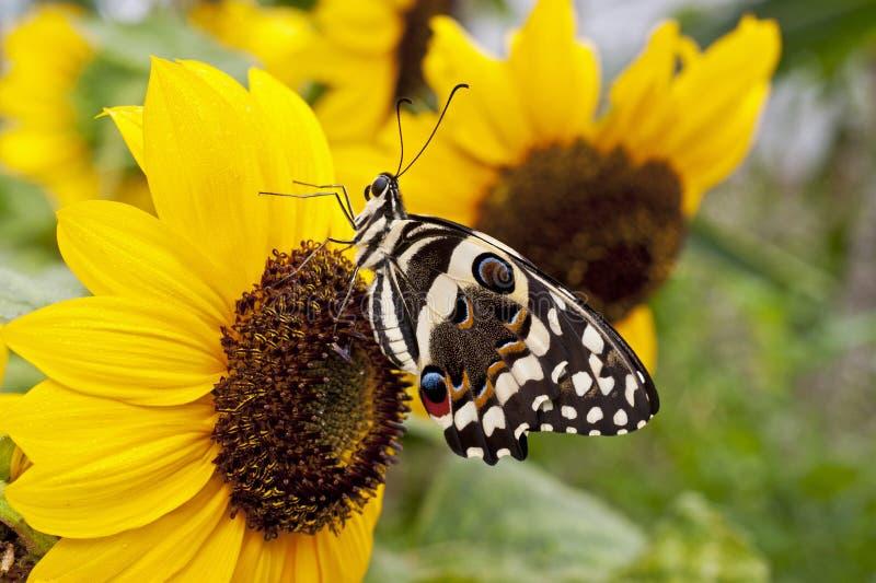 Een demodocus van Papilio van de citrusvruchten swallowtail vlinder stock foto's