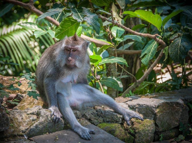 Een denker - aap royalty-vrije stock afbeelding