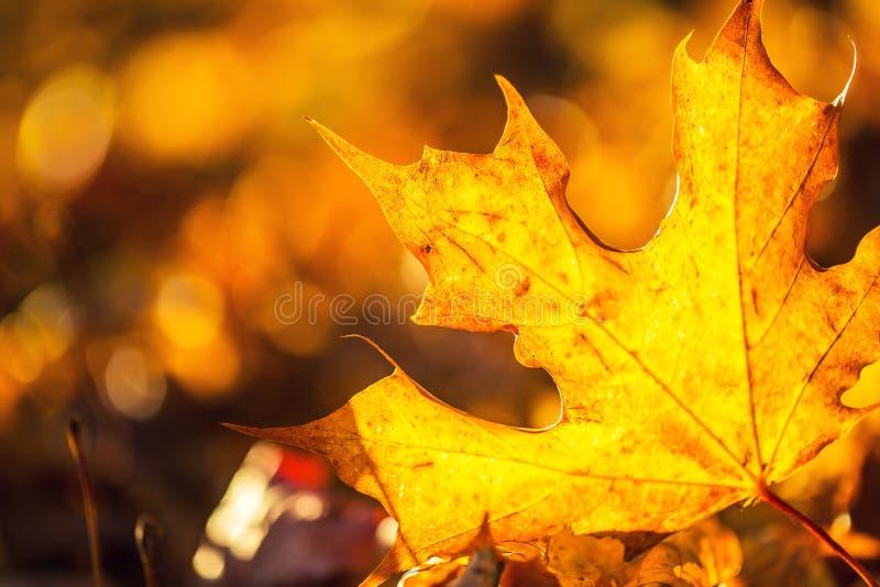 Een detail van herfst gekleurde bladeren in zonlichtintensiteit stock foto's