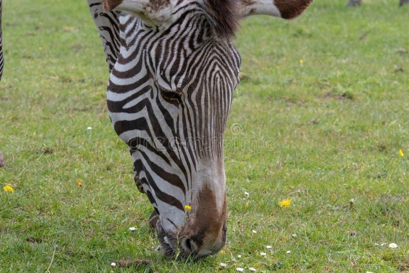 Een detailmening van de onderkant van het hoofd en de snuit van een Zebra terwijl het weidt royalty-vrije stock foto's