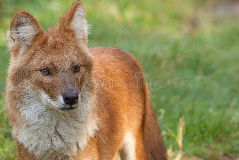 Een Dhole die ook als een Rode Hond wordt bekend stock afbeeldingen