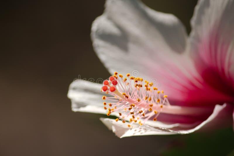 Een dicht omhooggaand beeld van een donkerroze en witte hibiscus bloeit het tonen van de gele en oranje meeldraad en de stampers stock foto's