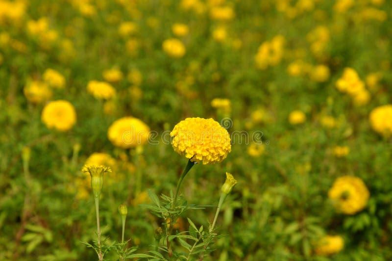 Een dicht omhooggaand beeld van een gele goudsbloembloei royalty-vrije stock afbeeldingen