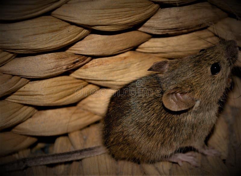 Een dicht omhooggaand beeld van een veldmuis in een houten mand stock afbeelding