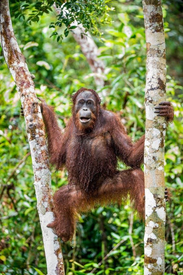 Een dicht omhooggaand portret van de Bornean-orangoetan onder regen royalty-vrije stock fotografie