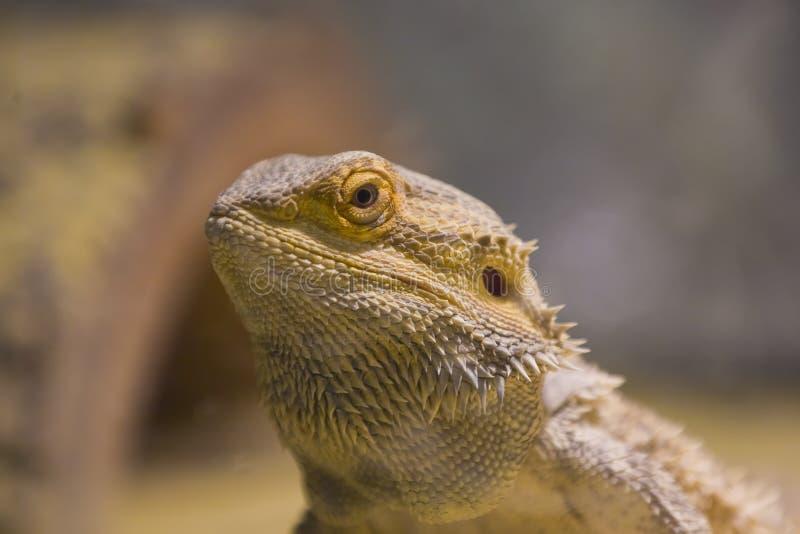 Een dicht omhooggaand portret van een gebaarde draak stock afbeelding