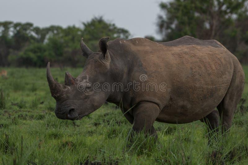 Een dichte omhooggaande foto van een bedreigd wit rinoceros/een rinocerosgezicht, hoorn en oog Beroemde wijngaard Kanonkop dichtb royalty-vrije stock afbeeldingen