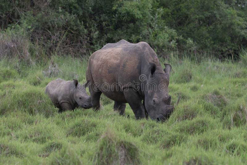 Een dichte omhooggaande foto van een bedreigd wit rinoceros/een rinocerosgezicht, hoorn en oog Beroemde wijngaard Kanonkop dichtb stock afbeelding