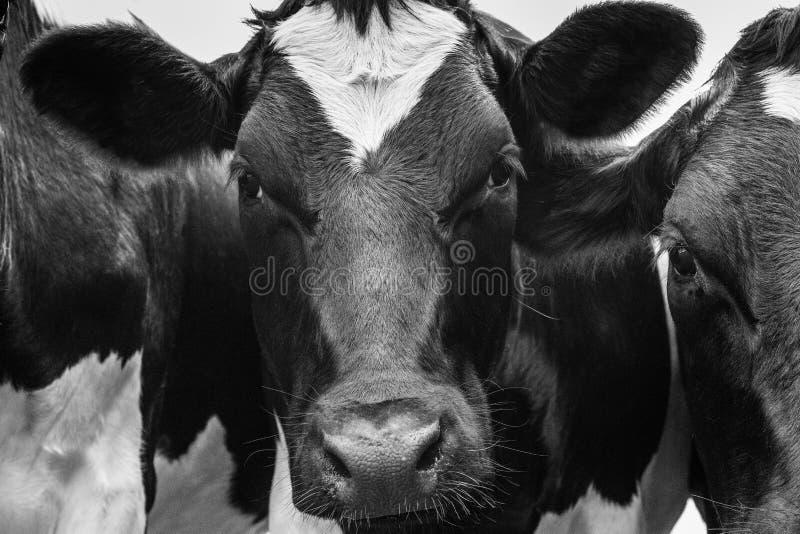 Een dichte omhooggaande foto van Koeien ziet in een kudde onder ogen stock afbeelding