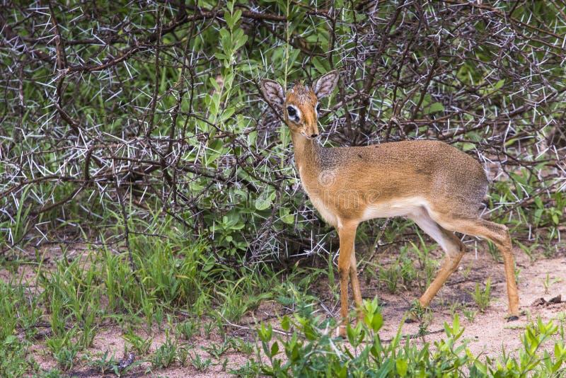 Een dik-dik, een kleine antilope in Afrika Het nationale pari van meermanyara stock foto's